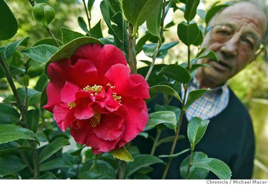 """Michael Mulholland, owner of """"Thornhill Nursery"""" in the Montclair District of Oakland, with one of a couple of Camellias he has available at his nursery. This plant is a """"Kramer's Supreme"""" bought in the Central Valley. udden Oak Death fungus has been found in two Southern California nurseries, leading six states to fully or partially ban California nursery stock. Florida is banning the import of all stock and five other states have partial bans--of plants that can serve as hosts to the Sudden Death fungus, like Camellias. event on 3/23/04 in Oakland Michael Macor / San Francisco Chronicle Photo: Michael Macor"""