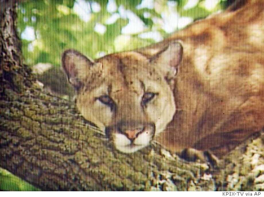 In this image from television, a mountain lion sits in a tree in a residential area of Palo Alto, Calif., Monday, May 17, 2004, just seconds before a Palo Alto police officer shot and killed the lion. An 11-year-old black Labrador named Kelsy caught scent of the big cat and bolted for it, chasing it up a tree until police arrived, according to the dog's owner, John Furrier. Police had been on the lookout for the lion after it was spotted earlier in the day. Officers who arrived to find it in the tree didn't have a tranquilizer gun, and the animal started to run off, so they decided to bring it down, said Capt. Torin Fischer. (AP Photo/CBS5/KPIX) Photo: BOB HORN
