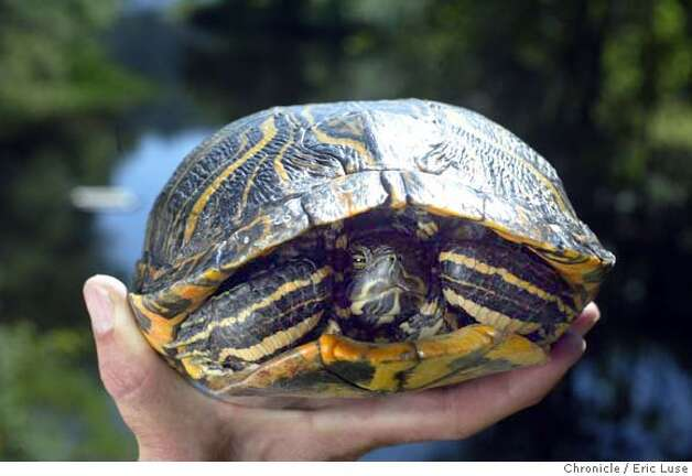 Turtles battle for Marin turf / Native western pond species is being ...