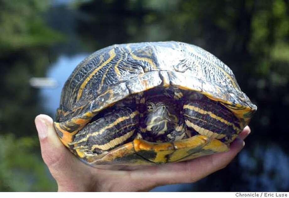 Turtles battle for Marin turf / Native western pond species
