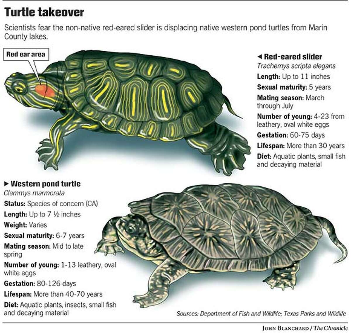 A Tale of Two Turtles. Chronicle graphic by John Blanchard