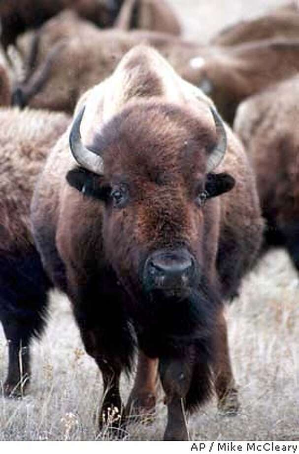 FILE--Buffalo graze on a prairie near Bismark, N.D., in this April 1, 1997 file photo. Struggling buffalo ranchers are trying to coax the federal government into buying up to $10 million worth of bison meat for schools, tribes and other government food programs. (AP Photo/The Bismarck Tribune, Mike McCleary) Photo: MIKE MCCLEARY