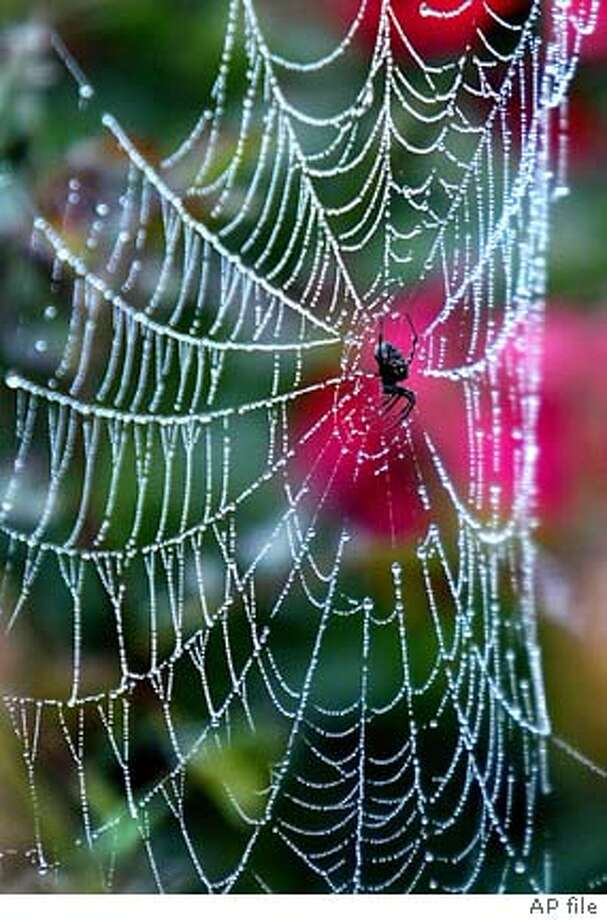 Dew from an early morning fog, hangs from a spider's web in a Jackson & Perkins rose field near Wasco, Calif., Thursday, Nov. 14, 2002. Jackson & Perkins is the world's largest producer of roses and are currently harvesting and packing roses.(AP Photo/Bakersfield Californian, Felix Adamo) Photo: FELIX ADAMO
