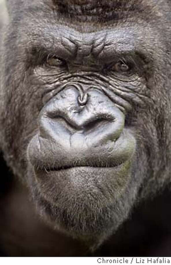 Kubi, A Male Gorilla Who Was Born At And Has Been At The San Francisco