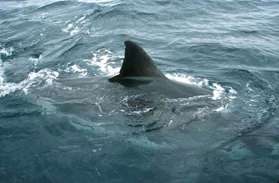 A huge dorsal fin on a great white shark slices through the water off Northern California.