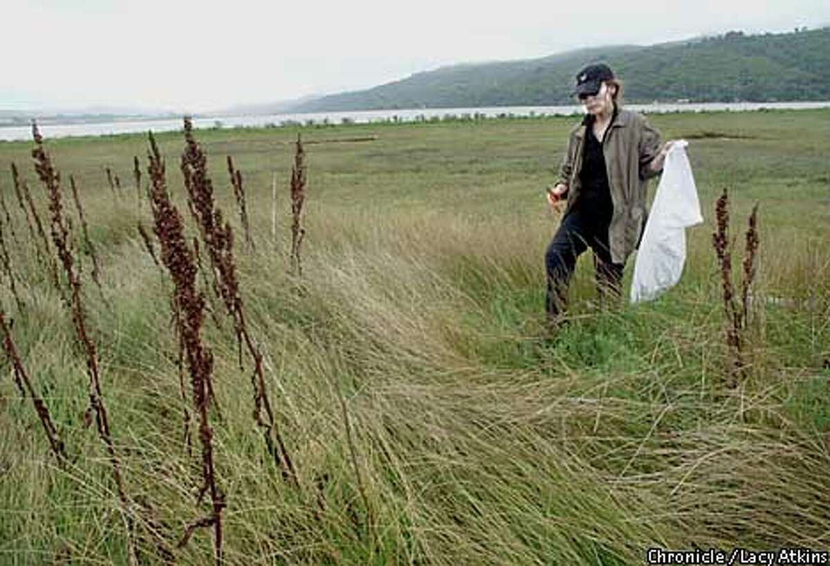 Sea Bounty: Margaret Grade gathers sea beans at Tomales Bay for dinner at her lodge. Chronicle photo by Lacy Atkins
