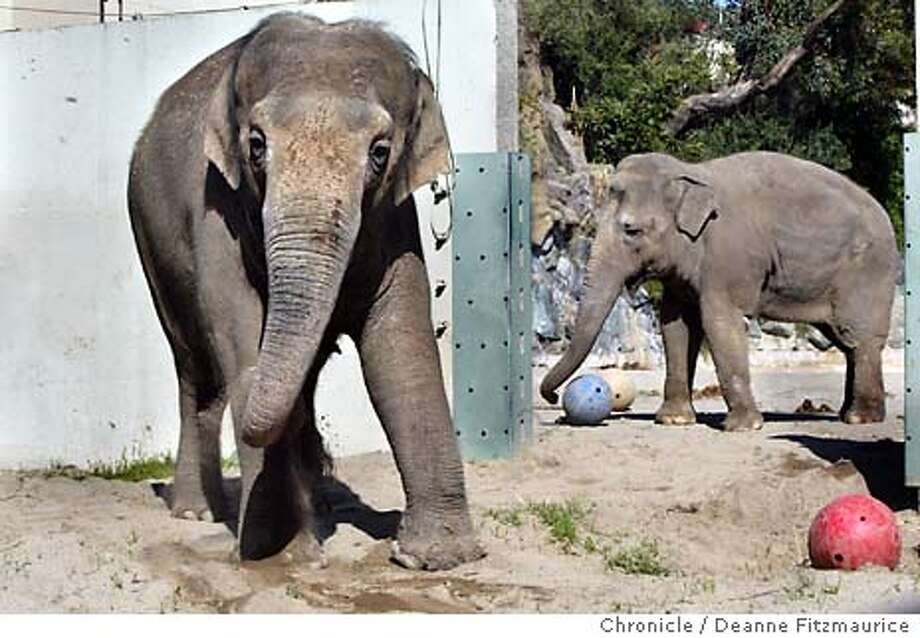 Calle, the elephant (at left, not playing with her ball) at San Francisco Zoo will be put to sleep soon. She is ailing from a hip problem and tuberculosis. At right is Tinkerbell.  Deanne Fitzmaurice / The Chronicle Photo: Deanne Fitzmaurice