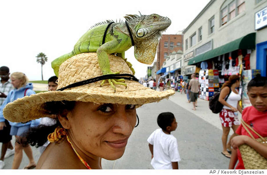 Sporting an iguana, Anna Castillo of Los Angeles strolls around Venice Beach Associated Press photo by Kevork Djansezian