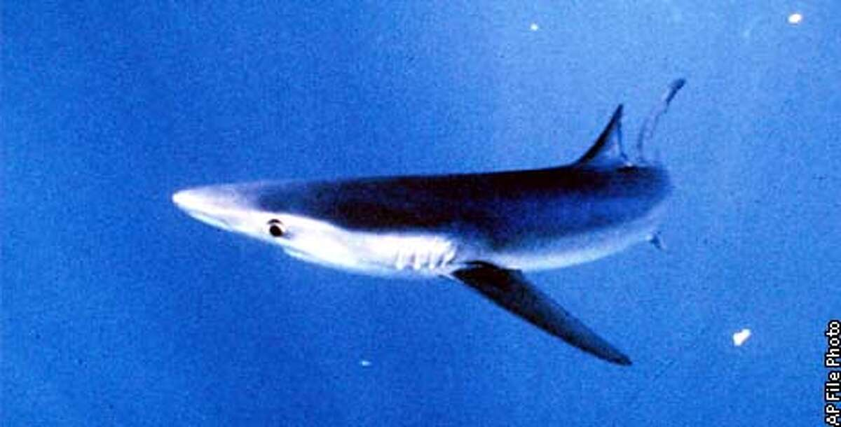 FILE--A blue shark is seen off the California coast in this file photo, date unknown. Leading marine researchers say the scariest thing that could happen with sharks isn't that they might be lurking in the murky depths. It's that they might not. Pelagic sharks are in serious decline, threatened by overfishing for their meat as well as their medicinal qualities, according to experts gathered at a major shark conference Monday, Feb. 14, 2000, at the Asilomar Conference Center off the coast of Central California. (AP Photo/National Marine Fisheries Service, File)