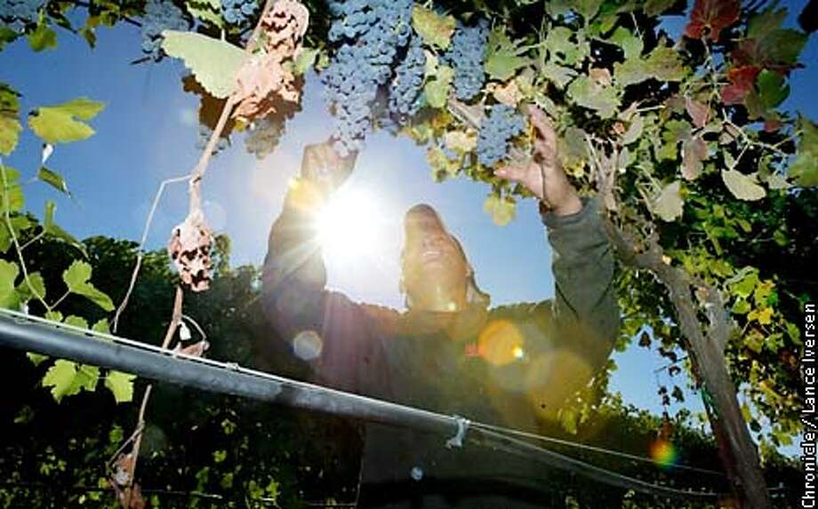 WINE-C-25SEP02-BU-LI  Angel Cruz picks Sayrah grapes on the Vino Farms Inc, north of Lodi Calif that are destind to be processed and made into wine by Chalone winnery under the Eschone label. By LANCE IVERSEN/SAN FRANCISCO CHRONICLE Photo: LANCE IVERSEN