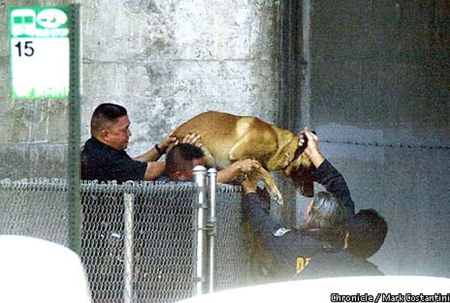 ON MARTIN LUTHER KING BETWEEN 34TH AND 36TH STREETS, OAKLAND POLICE HELP A POLICE DOG OVER A HIGH FENCE IN THEIR SEARCH FOR A SUSPECT INVOLVED IN A SHOOTING . PHOTO: MARK COSTANTINI/THE CHRONICLE Photo: MARK COSTANTINI
