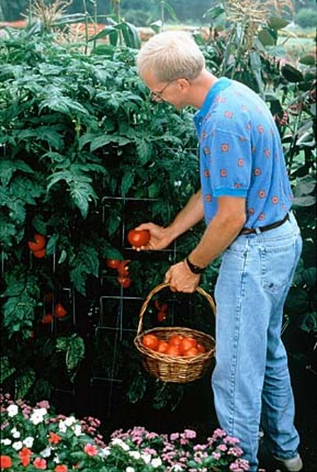 "THE KITCHEN GARDENER WILL TAKE ON ALL ASPECTS OF GROWING FOOD--INCLUDING THE NEVER-ENDING SEARCH FOR THE PERFECT HOMEGROWN TOMATO --EVERY SATURDAY IN THE HOME AND GARDEN SECTION. TOMATO IS ""BETTER BUSH"" IMPROVED"