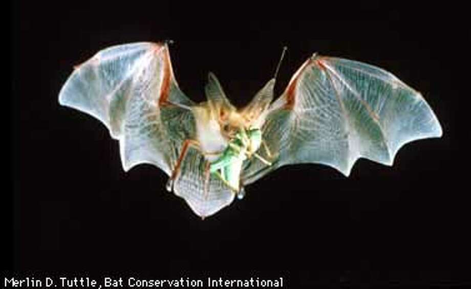 A Pallid Bat with a Katydid ( grasshopper) in flight. Copyright Credit Line: Merlin D. Tuttle, Bat Conservation International Photo: MERLIN TUTTLE