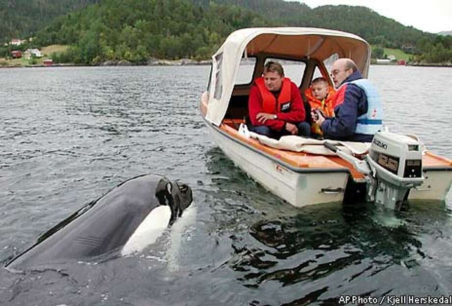 Norwegians enjoy a close encounter with the killer whale, who has turned up in a Norwegian fjord some days after he was returned to the wild from his pen in Iceland, September 2, 2002 in Skaalvik Fjord. Odd Kyrre Lund (L), Oeyvind Lorentsen (C) and Kolbjoern Lorentsen (R) are watching in the Skaalvik Fjord, some 400 kilometers (250 miles) Northwest of the Norwegian capital of Oslo. REUTERS/SCANPIX/Kjell Herskedal Photo: SCANPIX