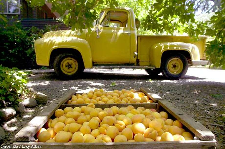 Eighty pounds of freshly picked apricots in preparation for jam, in St Helena.  PHOTO BY LACY ATKINS/CHRONICLE Photo: Lacy Atkins