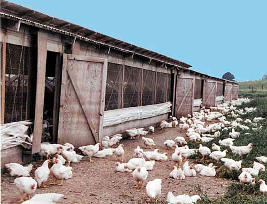 Petaluma Poultry , compared to normal chicken farms, it's actually a health spa, but I'm not sure if the  average city person will know that or if it gives a bad impression of the farm.  (HANDOUT PHOTO) Photo: HANDOUT