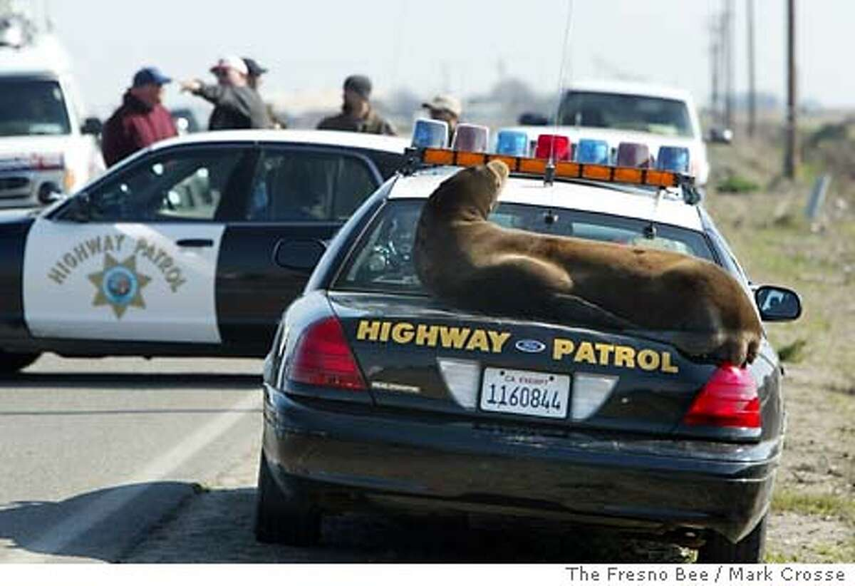A sea lion basks in the sun on the back of a California Highway Patrol car Monday, Feb. 9, 2004, on a rural road northeast of the San Joaquin Valley town of Los Banos, Calif. Authorities tried to determine how the 300-pound animal turned up in the San Joaquin Valley _ some 65 miles from the ocean. (AP Photo/The Fresno Bee / Mark Crosse)