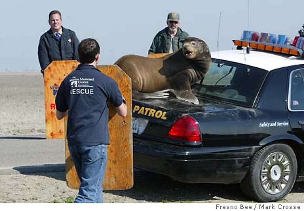 A sea lion seeks refuge on the trunk of a California Highway Patrol vehicle in the San Joaquin Valley town of Los Banos, Calif., Monday, Feb. 9, 2004, as rescue personnel use