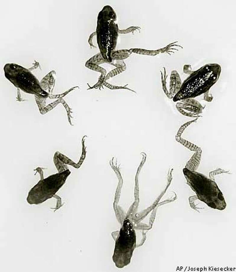 ** EMBARGOED UNTIL 5 PM EDT MONDAY, JULY 8 ** Six frogs are seen in this undated handout photograph from Penn State University. Two Frogs, top left, and top right, are normal and the four others have varying limb deformaties including missing limbs and limb duplications. Scientists, debating whether high rates of deformities in wood frog populations are the result of natural causes or pollution, may both be right, according to research by a Penn State University biologist. (AP Photo/Penn State University, Joseph Kiesecker) Photo: JOSEPH KIESECKER