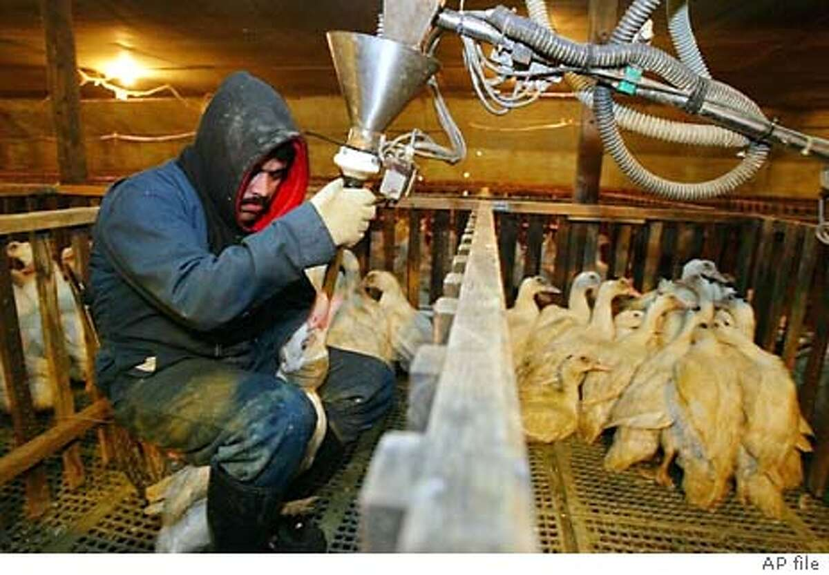 Jorge Vargas uses a funneled pipe to force-feed a measured dose of corn mush to a Moulard duck in its pen at Sonoma Foie Gras in Farmington, Calif., Dec. 9, 2003. Foie gras, the silky soft delicacy derived from the livers of force-fed geese and ducks, is stoking a battle of epicurean ethics in Northern California. (AP Photo/Eric Risberg) A DEC. 9, 2003, PHOTO Nation#MainNews#Chronicle#2/10/2004#ALL#3star##0421532181