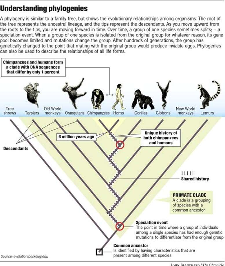 Understanding Phylogenies. Chronicle graphic by John Blanchard