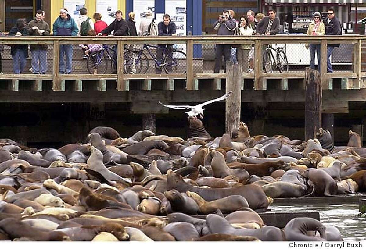 Pier 39's Warren Simmons and son Scooter Simmons at Pier 39. Sea Lions at Pier 39. 10/1/03 in San Francisco. DARRYL BUSH / The Chronicle