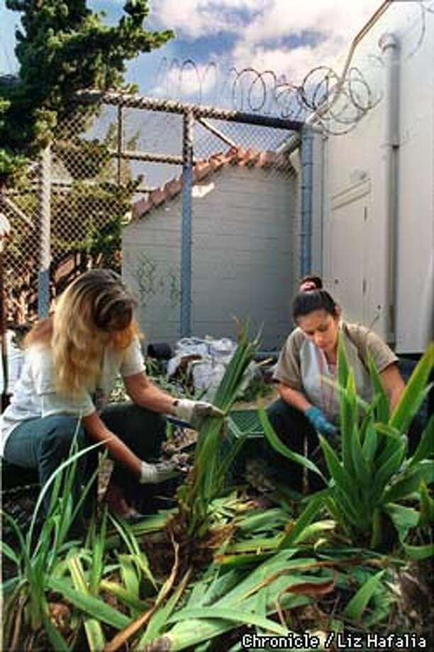 At left is inmate Karen Davis and at right is Edna Cisneros. They are dividing iris bulbs for planting. Photo by Liz Hafalia Photo: Liz Hafalia
