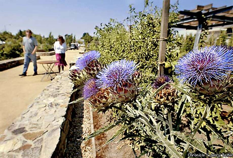 Edibles: Copia's gardens feature edible plants from around the world, such as this blue-flowering cardoon -- a relative of the artichoke. Chronicle photo by Jerry Telfer