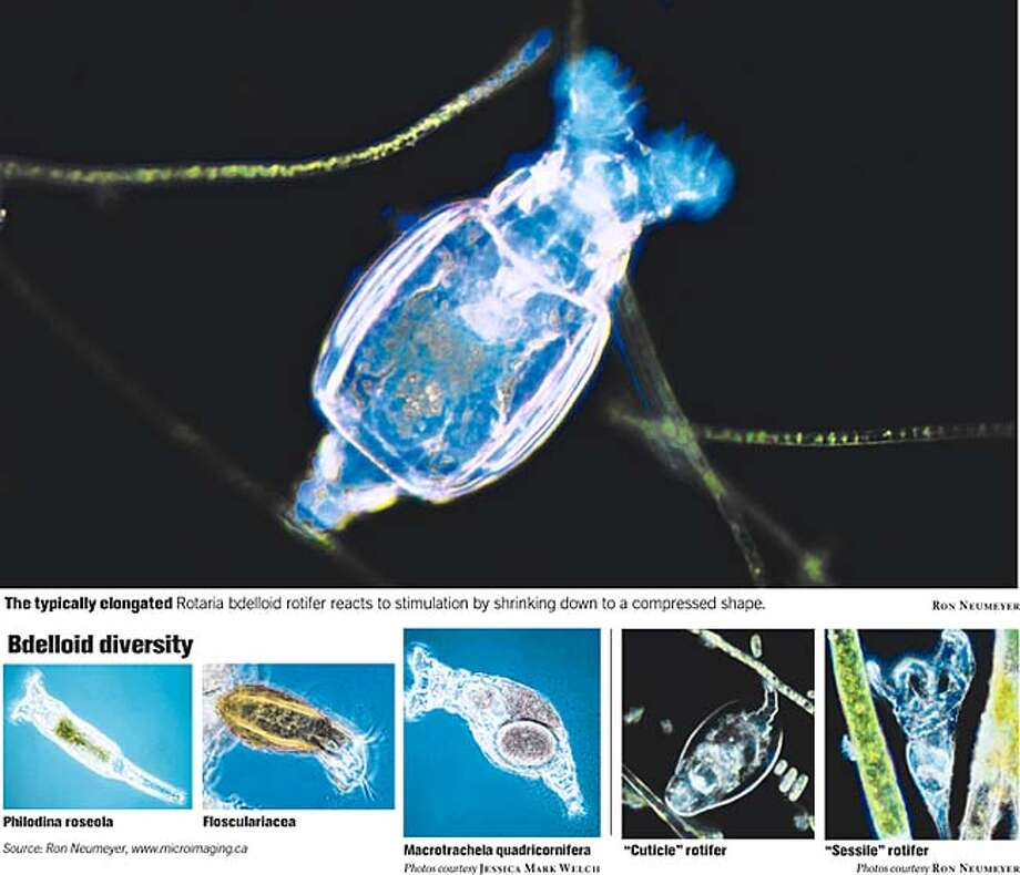 The typically elongated Rotaria bdelloid rotifer reacts to stimulation by shrinking down to a compressed shape. Photos courtesy of Ron Neumeyer Photo: John Blanchard