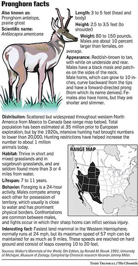 Pronghorn Facts. Chronicle graphic by Todd Trumbull Photo: Joe Shoulak