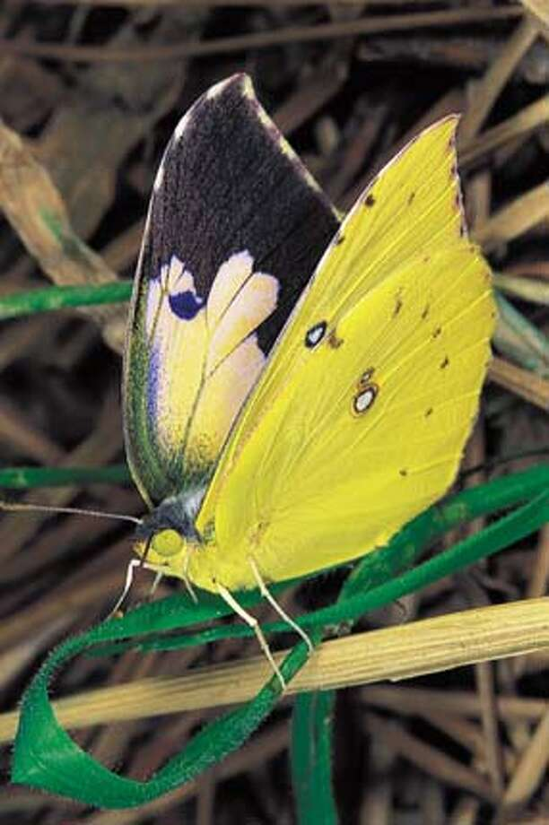 Wings alight: You might get a visit from the California dogface butterfly in your backyard this year if you have a habitat backyard garden. Photo courtesy of Bob Parks