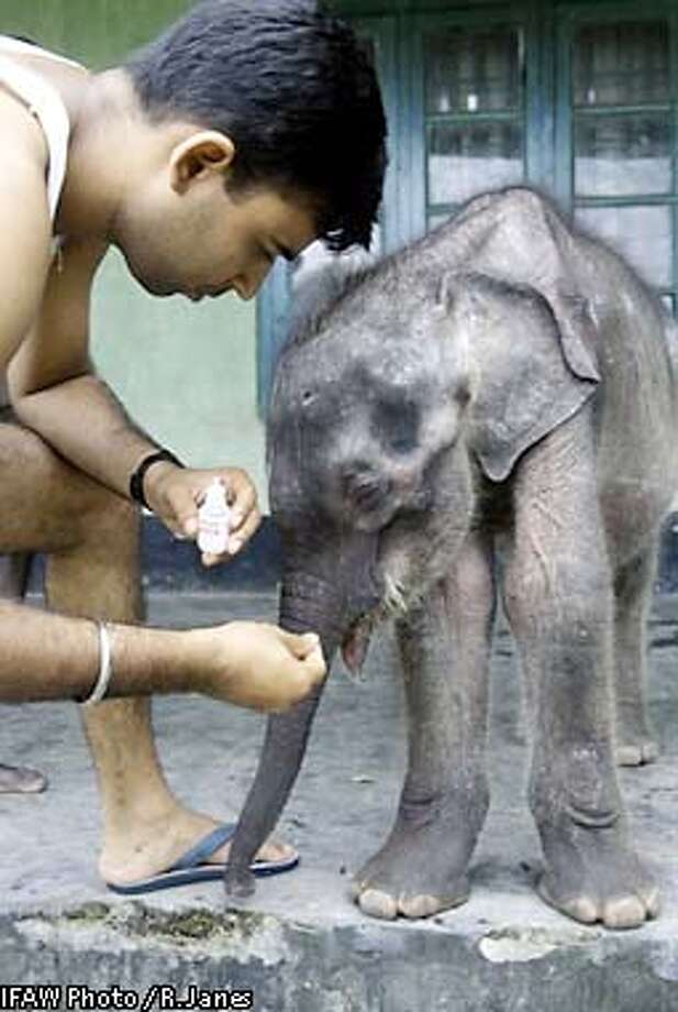 Veterinarian, Bhaskar Choudhury, applying an anti-fungal medicine to the mouth and tongue of a rescued male baby elephant, named abhimamyu. Milk residue is causing a small infection his mouth. The elephant is being cared for at Kaziranga National Park, Assam, India, at an International Fund for Animal Welfare/WTI supported facility.  Credit: copyright IFAW/R. Janes Photo: R. Janes