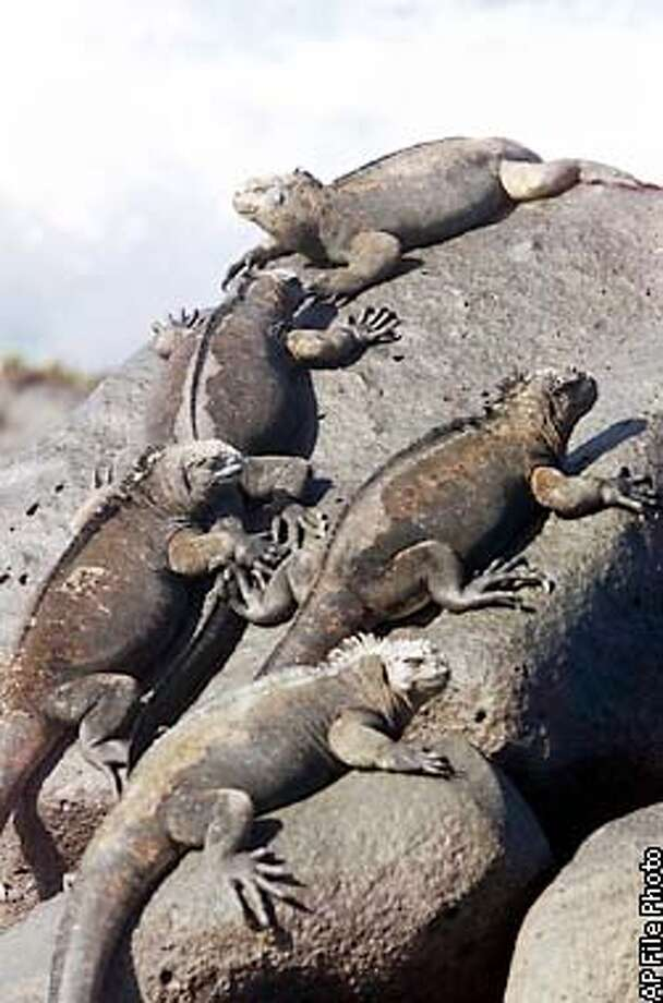 **HOLD FOR RELEASE 2 P.M. EDT JUNE 5 **FILE** Marine iguanas sunbathe on the volcanic rocks of Loberia Beach on San Cristobal Island in the Galapagos Archipelago, in this Thursday, Jan. 25, 2001 file photo. As many as 15,000 marine iguanas died on a Galapagos island in the year after a January 2001 oil spill, say scientists who blame trace amounts of the fuel. Naturalists initially believed that the unique Galapagos ecosystem that inspired Charles Darwin's theory of evolution largely escaped damage from the spill. (AP Photo/Ricardo Mazalan) Photo: RICARDO MAZALAN