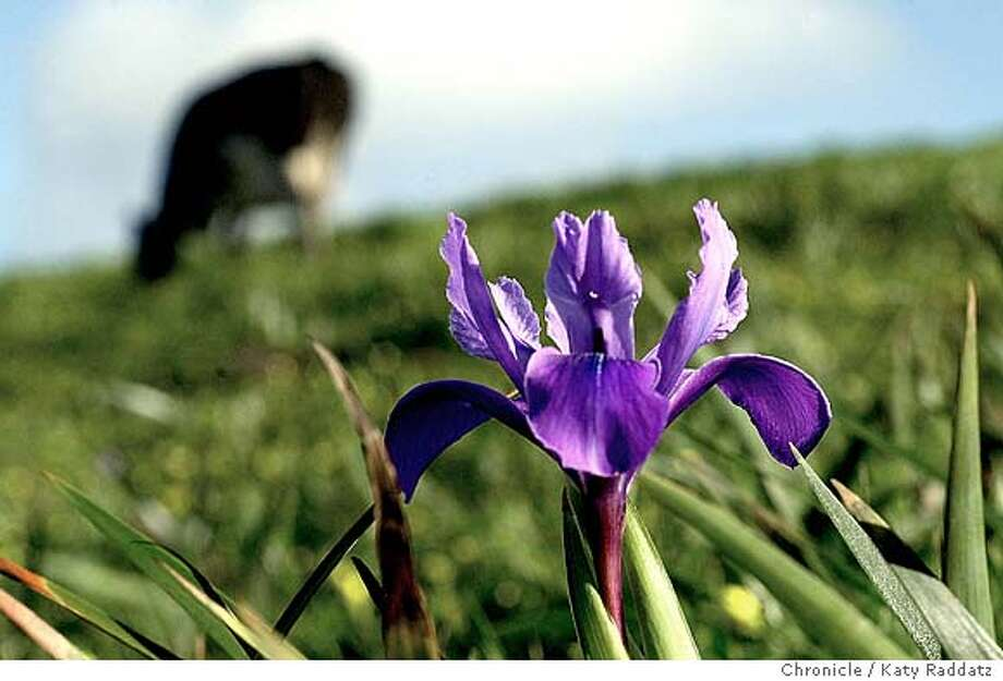 PHOTO BY KATY RADDATZ/THE CHRONICLE  Wildflowers at Pt. Reyes National Seashore. SHOWN: wild iris near Chimney Rock, with a Holstein cow grazing peacefully nearby. Photo: Katy Raddatz