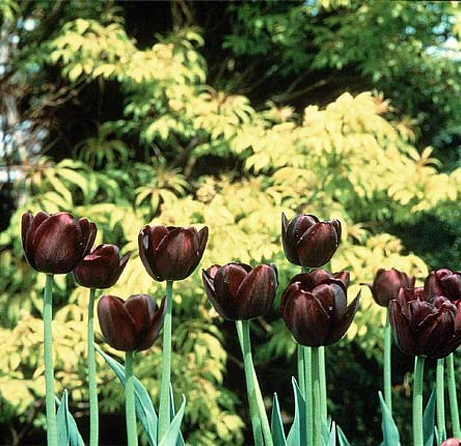 THIS IS A HANDOUT IMAGE. PLEASE VERIFY RIGHTS. BULBS19A-C-15OCT02-HM-HO QUEEN OF THE NIGHT TULIP  (best black tulip) CAT Photo: HANDOUT