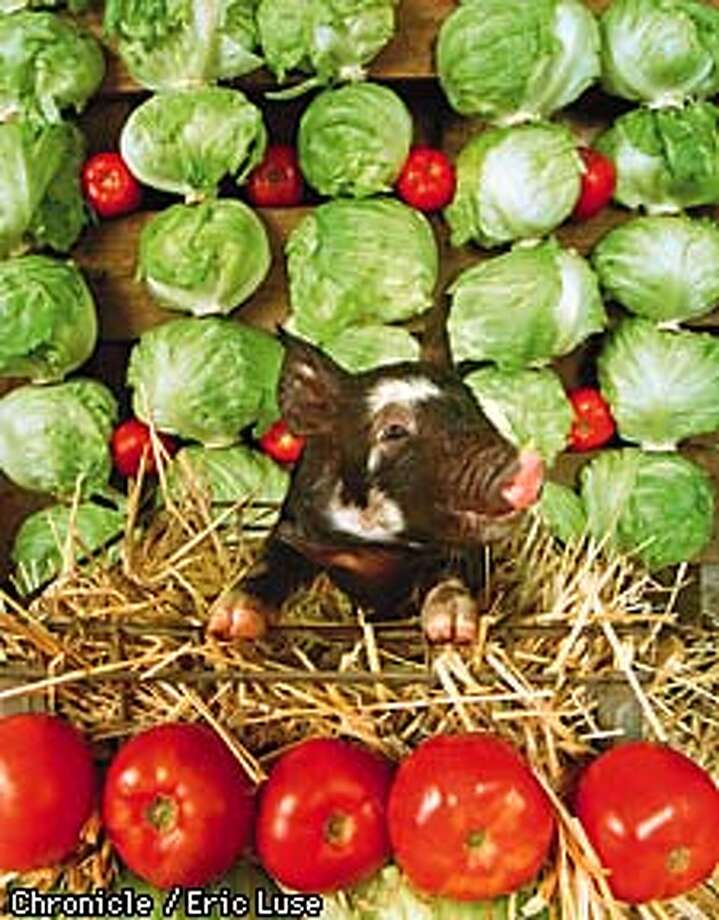 A nine day old Berkshire pig courtesy of the Durling family of Petaluma is surrounded by lettuce and tomatoes.  Photo by Eric Luse  Styling by Ethel Brennan Photo: Eric Luse