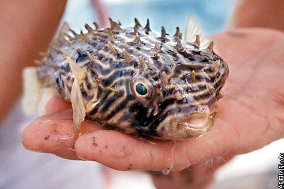 South Carolina Aquarium staffers caught this Northern Puffer fish from a net dragged through Charleston harbor Tuesday, July 14, 1998. They have begun collecting specimens for the $62 million facility which will include a 320,000 gallon saltwater tank. The aquarium is scheduled to open in the year 2000. (AP Photo/The Post & Courier, Wade Spees) Photo: WADE SPEES