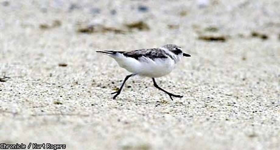 (Uncorrected Color)  A Female Snowy Plover runs up Francis Beach in Half Moon Bay Calif state parks is starting new protections for the threatened snowy plover up and down the coast on monday. scientists are trying to protect the sandy beaches where they make their nests and lay eggs.photo By Kurt Rogers Photo: Kurt Rogers