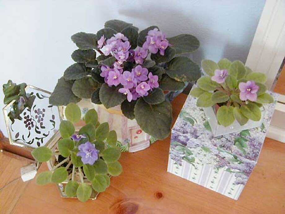"/ for: Home slug: within28; ""Gardener Within"" on African Violets. / HO"