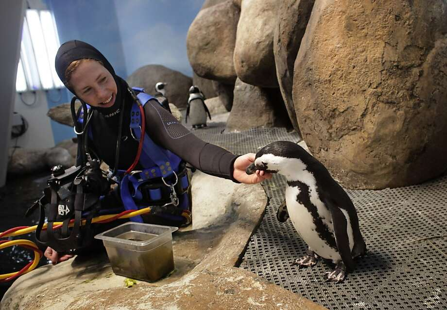 Aquatic Biologist Brooke Weinstein hits Oso one of the 16 penguins that live in the  African penguin colony exhibit at the California Academy of Sciences, Thursday January 19, 2012, in San Francisco, Calif. Photo: Lacy Atkins, The Chronicle
