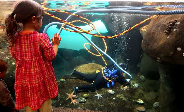 Children watch Aquatic Biologist Brooke Weinstein clean out the African penguin colony exhibit at the California Academy of Sciences Thursday, January 26, 2012. Photo: Lance Iversen, The Chronicle