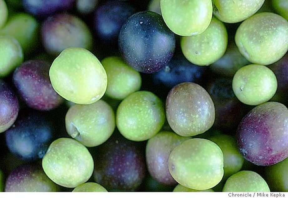 olive0806_mk.jpg Harvested arbequina olives wait to processed into oil.  California Olive Ranch in Oroville, CA is harvesting this years crop to make olive oil. 11/11/03 in Oroville MIKE KEPKA/The San Francisco Chronicle Photo: MIKE KEPKA