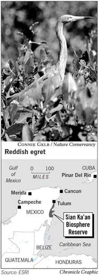 Reddish Egret. Chronicle Graphic