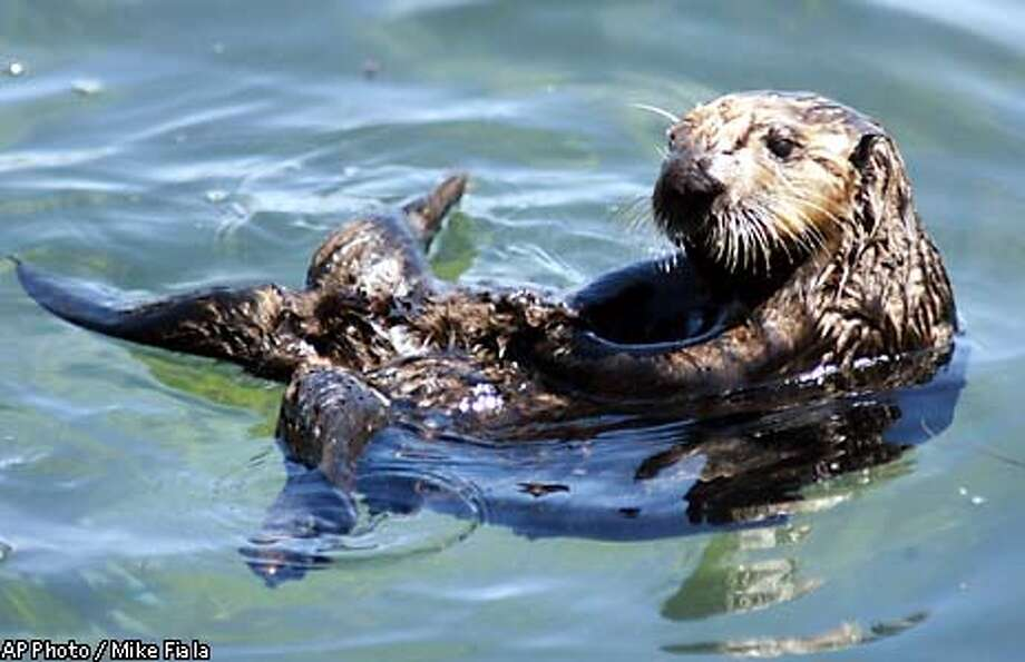 ** FILE ** A wild sea otter floats on its back in a tide pool in Monterey Bay near Monterey, Calif., April 15, 2002. U.S. Geological Survey researchers, scanning 375 miles of California coastline, tallied 2,139 sea otters this year, according to survey results released Tuesday, June 11, 2002. That represents a 1 percent drop from the 2001 count of 2,161. U.S. Geological Survey researchers have counted fewer California sea otters for a second straight year. Wildlife managers are concerned at the slowing growth rate for the threatened otter, and efforts are underway to try to get a handle on why the otter's numbers have slipped steadily since peaking in 1995. (AP Photo/Mike Fiala) Photo: MIKE FIALA