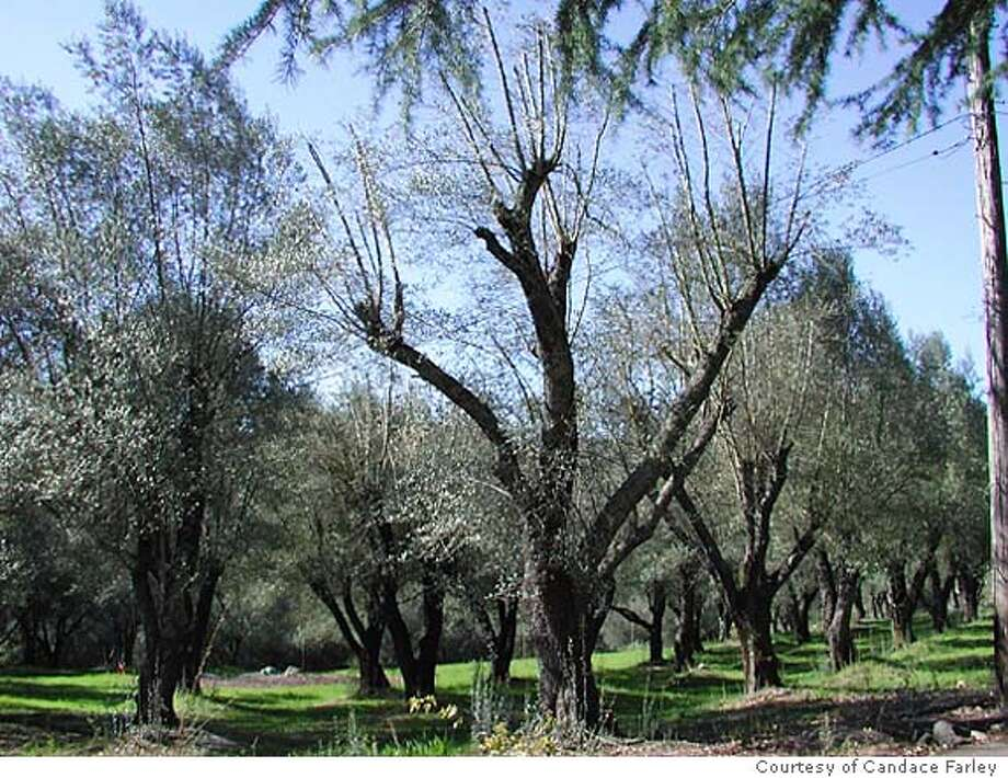 for NBCASTLE26; Castle Peak Ranch's olive grove Courtesy Candace Farley, / HO Photo: Courtesy Candace Farley