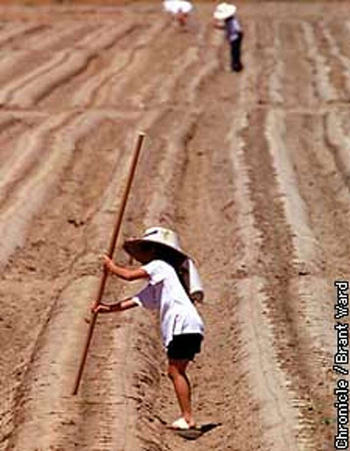 Maung farmers outside Fresno work in cooperative fields using all family members to plant strawberries. Here a nine year old girl made holes in the sandy soil for the small strawberry plants to come. By Brant Ward/Chronicle