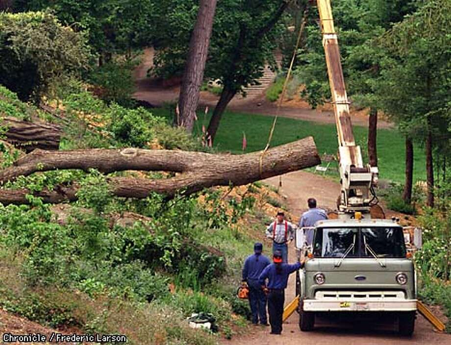 GG PARK ELM/28MAY97/MN/FRL: Elm trees being remove from the AIDS grove in GG Park. Chronicle photo by Frederic Larson.