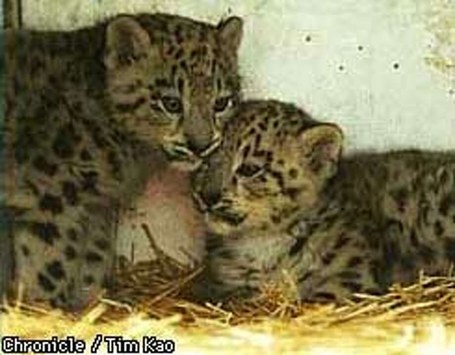 =TWO of the leopard cubs in the cage. SF supervisor Mabel Teng named the three cubs Mei-Mei, Li-Li, and Dong-Dong. Mei Li Dong means beauty from the East. photo by Tim kao/the chronicle Photo: TIM KAO