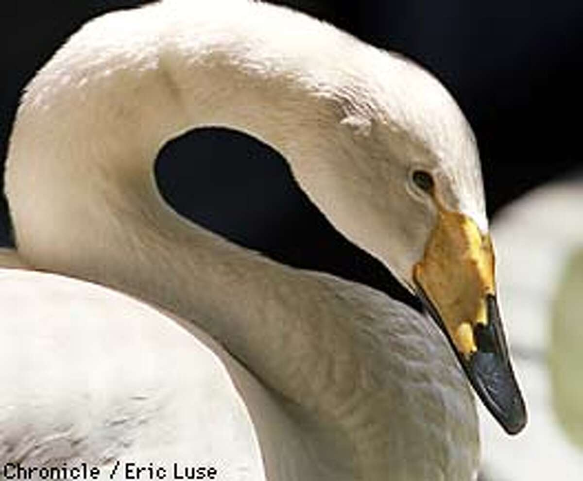 Myrtle the swan at the San Francisco Zoo's hospital undergoing treatment for lead poisoning from Mountain Lake. Photo by Eric Luse