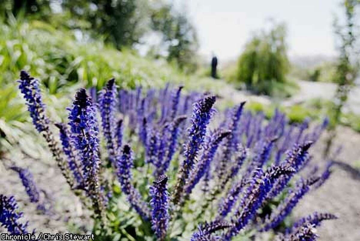 Fragrant lavender at Matanzas Creek Estate Gardens, Santa Rosa. Chronicle photo by Chris Stewart